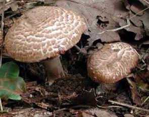 Хорошо ли Вы знаете грибы? - Сохраненное изображение 2013-9-17_20-41-40.375.jpg