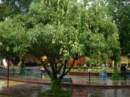 дерево манго - images.jpg