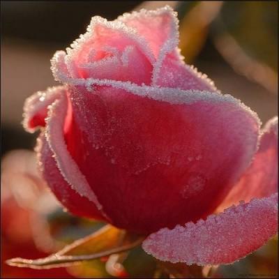 Засахаренная роза - Засахаренная роза.jpg