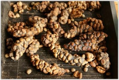 Зерна кофе, прошедшие обработку пищеварительной системой мусанга - Зерна кофе, прошедшие обработку пищеварительной системой мусанга.jpg
