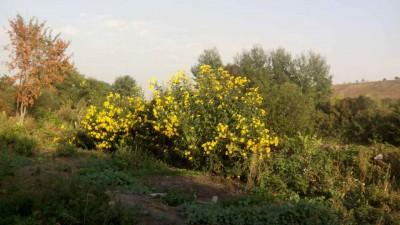 Полезный овощ топинамбур - IMG_20150925_164322.jpg