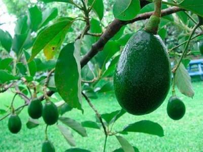Авокадо: польза для человека, вред для планеты - 9.JPG