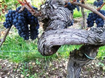 Винограда в Европе в этом году будет мало. Подорожает вино? - 8.jpg