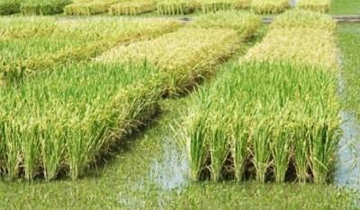Новый сорт риса растёт в морской воде - 9.JPG