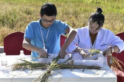 Новый сорт риса растёт в морской воде - 10.jpg