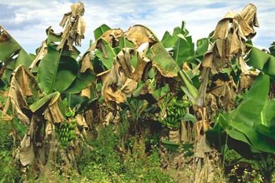 ООН прогнозирует банановую катастрофу - 3.jpg