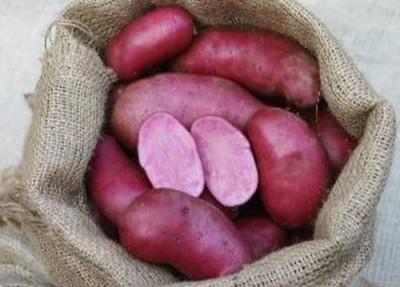 Немцы вывели черничный сорт картофеля, австралийцы втрое ускорили рост пшеницы - 9.JPG