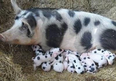 Китайская свинина из многоэтажек - 7.jpg