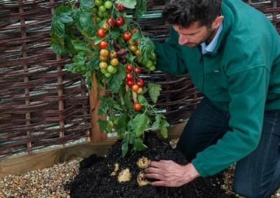 Tomtato – химерное растение, покорившее Австрию - 9.JPG