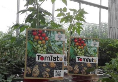 Tomtato – химерное растение, покорившее Австрию - 10.jpg