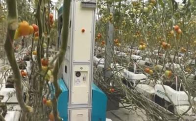 Помидоры будут собирать роботы. Правда, пока только в Японии - 7.jpg