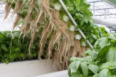 Выращивание овощей без почвы и без воды: Турин за аэропонику - 9.JPG