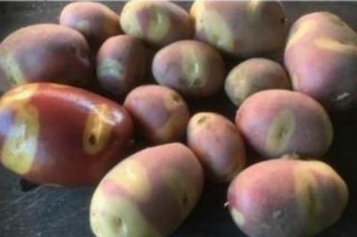 В Голландии представлены новые сорта картофеля, на любой вкус и цвет - 8.jpg
