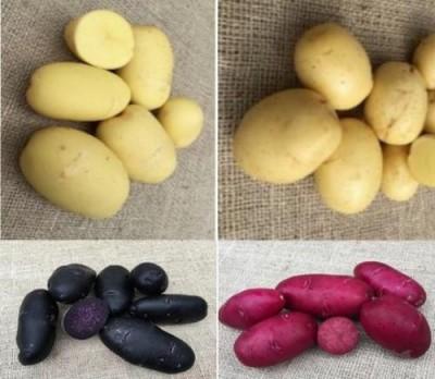 В Голландии представлены новые сорта картофеля, на любой вкус и цвет - 9.JPG