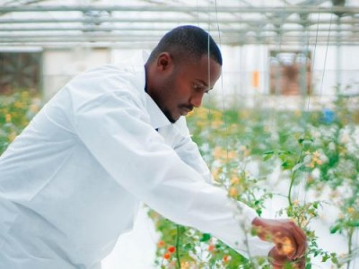 В ОАЭ переняли японский опыт, и начали выращивать томаты по плёночной технологии - 7.jpg
