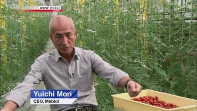 В ОАЭ переняли японский опыт, и начали выращивать томаты по плёночной технологии - 8.jpg