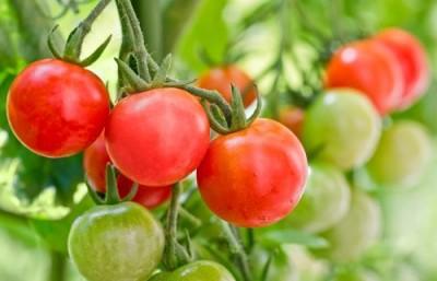 В ОАЭ переняли японский опыт, и начали выращивать томаты по плёночной технологии - 9.JPG