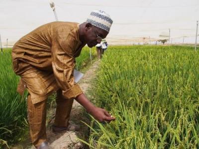 Учёные создали ГМО-рис, который нейтрализует ВИЧ - 9.JPG