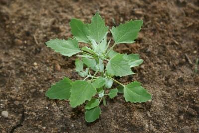 Съедобные сорняки, что растут у вас в огороде - 6.jpg