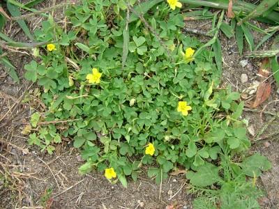 Съедобные сорняки, что растут у вас в огороде - 7.jpg