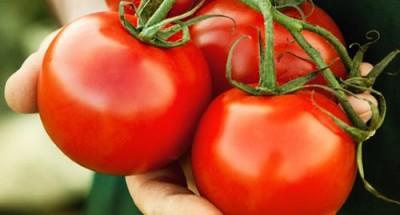 Современные томаты: на планете совсем не осталось настоящих помидоров - 8.jpg
