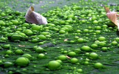 Диета на сине-зелёный водорослях: гипертоникам радоваться? - 9.JPG