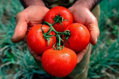 В Японии начнут продавать ГОО ГМО помидоры, яйца и другие продукты - 8.jpg