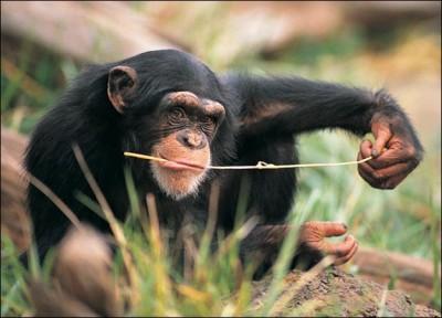 Необычная диета древнего человека - chimpanzee-picture.jpg