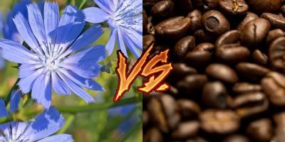 Кофе для бедных или безвредная альтернатива? Цикорий против кофе - 10.jpg