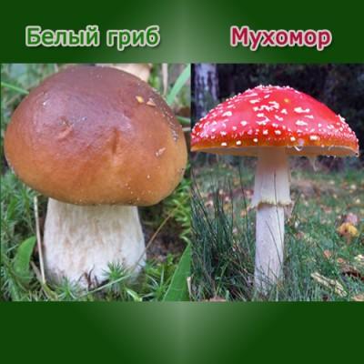 Хорошо ли Вы знаете грибы? - edible-and-poisonous-mushrooms.jpg