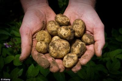 Свежая картошка семимесячной давности - article-2389853-0F4CD04A00000578-714_634x424.jpg
