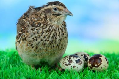 Польза перепелиных яиц для здоровья и красоты - 01_Perepelinye_jajca.jpg