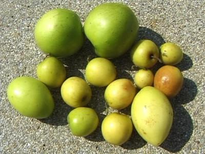 Экзотические овощи и фрукты - зизифус.jpg