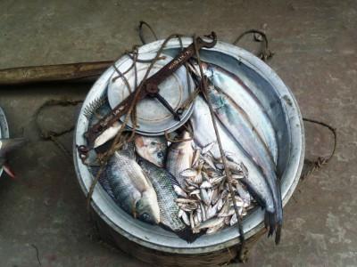 Полосатая рыбка - это телапуя, еще там какая то мелочь и рыба Боал кэтфиш  - Поласатая рыбка - телапуя. Приносил продавец рыбы на дом.jpg