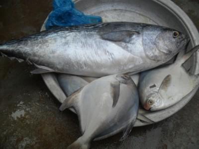 тунец и камбала, что мы купили - тунца весом 3кг и камбалу привезли домой.JPG