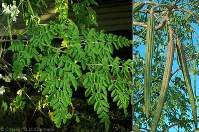 листья похожи на большие листья акации и сами плоды. - шазна.jpg